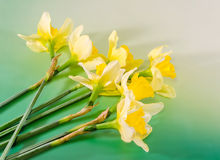 Yellow freesias flowers, close up, green gradient background, isolated Stock Photography