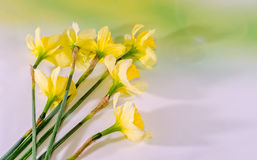 Yellow freesias flowers, close up, green gradient background, isolated Stock Images