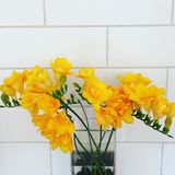 Yellow freesias Royalty Free Stock Photos