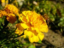 Free Yellow French Marigold And A Bee. Stock Image - 159820581