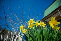 Yellow fresh daffodil in the garden Stock Photos
