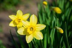 Yellow fresh daffodil in the garden Stock Photography