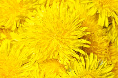 Yellow fresh dandelion close up Stock Photos