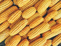 Yellow fresh and sweet corn for food processing Stock Image