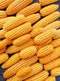 Yellow fresh and sweet corn for food processing Royalty Free Stock Image