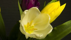 Yellow fresh tulip on holiday woman stock photo