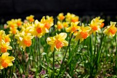 Yellow fresh and white spring growing blooming daffodils background.daffodil in garden, sunny spring weather. stock photos