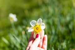 Gardener hand and Yellow fresh and white spring growing blooming daffodils background.Spring easter flowers.April, may royalty free stock image