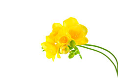 Yellow fresia on white Royalty Free Stock Photo
