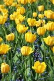 Big flowers of yellow tulips and small flowers of Myosostis stock photos