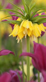 Yellow fritillaria lutea Stock Image