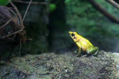 Yellow frog. Profile of yellow frog Stock Photography