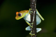 Yellow frog Stock Photos