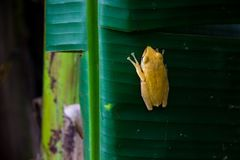 Yellow frog clinging stock image