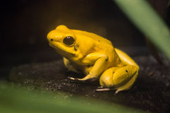 Yellow Frog Stock Photo