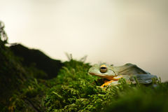 Yellow frog on moss Royalty Free Stock Photos