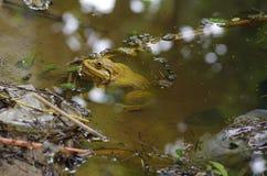 Yellow frog Stock Photo