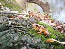Yellow frog on the river bank, autumn 2018. stock photography