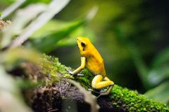 Yellow frog on tree Royalty Free Stock Image