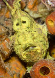 Yellow Frogfish Royalty Free Stock Image