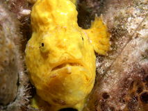 Yellow frogfish. Waiting for food Royalty Free Stock Photo