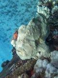 Yellow Frogfish Anglerfish on Reef Underwater royalty free stock photo
