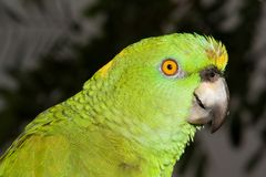 Yellow Fronted Amazon Stock Photo