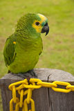 Yellow Fronted Amazon Parrot. Outside Perched on a wooden post Stock Image