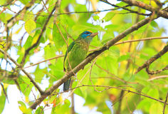 Yellow-fronted Barbet Stock Photo