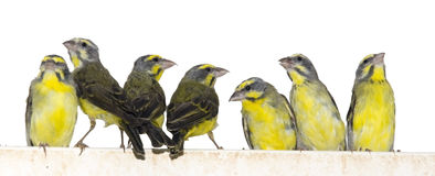 Yellow-fronted canaries (Crithagra mozambica). Are isolated with white background stock photos