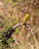 The Yellow-fronted Canary. This Yellow-fronted Canary (Serinus mozambicus) is a close relative to our well-known domestic canary bird Royalty Free Stock Image