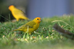 Yellow Fronted Canary Birds. Cooperating Find Food Royalty Free Stock Photos