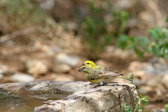 The Yellow-fronted canary Royalty Free Stock Photo