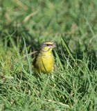 Yellow-fronted Canary Stock Photography