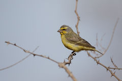 Yellow-fronted canary, Serinus mozambicus Royalty Free Stock Images