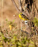A Yellow -fronted Canary on a twig. A Yellow-fronted Canary (Serinus mozambicus) tries to pick some seeds from a plant, it resembles strongly our domestic canary Royalty Free Stock Images