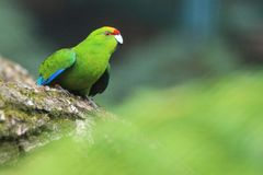 Yellow-fronted parakeet Stock Images