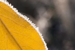 Yellow frozen leaf. Winter nature concept. Freeze and ice Stock Photo