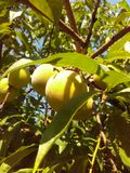 The yellow  fruit of the peach tree Royalty Free Stock Image
