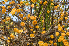 Yellow fruit of Wax Rose Stock Photography