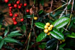 Yellow Fruited Holly Tree with Defocused Red Holly Berries. Yellow fruited holly berries with a defocused blurry background with red fruited hollies provide copy Stock Images