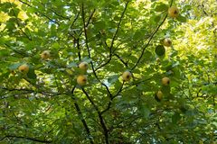 Yellow fruits on branches of quince tree. Yellow fruits on the branches of quince tree Royalty Free Stock Photography