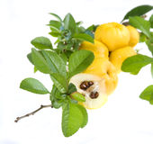 Yellow fruits of chaenomeles japonica Stock Photos