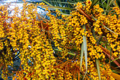Yellow fruits on a date palm tree Royalty Free Stock Photos