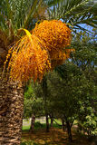 Yellow fruits on a date palm tree Royalty Free Stock Images