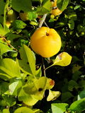 Yellow fruits of japanese quince garland on branches of a bush Stock Photo