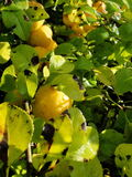 Yellow fruits of japanese quince garland on branches of a bush Stock Images