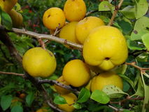 Yellow fruits of japanese quince garland on branches of a bush Royalty Free Stock Photo