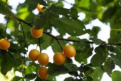 Yellow fruits of a mirabelle plum Royalty Free Stock Photo