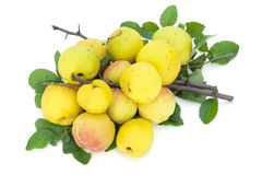 Yellow  fruits, thorny branches,  leaves Royalty Free Stock Photo